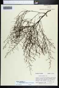 Lechea pulchella herbarium specimen from Apalachicola National Forest, Wakulla County in 1989 by Prof. Loran C Anderson.