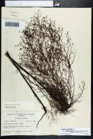 Lechea leggettii herbarium specimen from Lloyd, Jefferson County in 1961 by Robert K Godfrey.