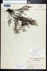 Lechea sessiliflora herbarium specimen from Pensacola, Escambia County in 1957 by Robert Kral.