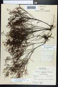 Lechea patula herbarium specimen from Freeport, Walton County in 1958 by Robert K Godfrey.