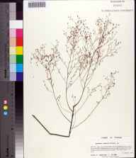 Lechea sessiliflora herbarium specimen from Point Washington Wildlife Management Area, Bay County in 2001 by Prof. Loran C Anderson.