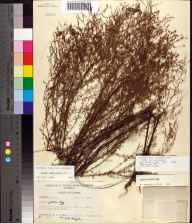 Lechea sessiliflora herbarium specimen from Madison County in 1955 by J.P. Gillespie.