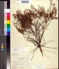 Lechea sessiliflora herbarium specimen from Hosford, Liberty County in 1955 by Robert Kral.