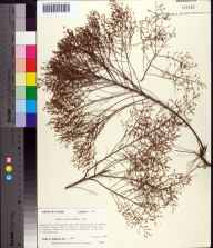 Lechea sessiliflora herbarium specimen from Southside Cemetery, Leon County in 1989 by Prof. Loran C Anderson.