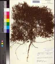 Lechea sessiliflora herbarium specimen from Lake County in 1978 by Robert K Godfrey.