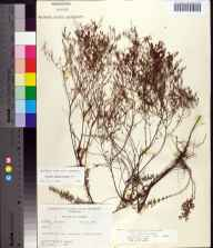 Lechea sessiliflora herbarium specimen from Fanning Springs, Gilchrist County in 1964 by Robert K Godfrey.