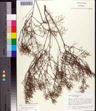Lechea sessiliflora herbarium specimen from Leesburg, Lake County in 1979 by Walter S. Judd.