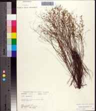 Lechea minor herbarium specimen from Torreya State Park, Liberty County in 1972 by Robert K Godfrey.
