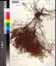 Lechea sessiliflora herbarium specimen from Lee, Madison County in 1975 by Robert K Godfrey.