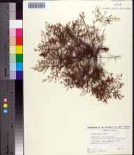 Lechea patula herbarium specimen from Perdido Key, Escambia County in 1983 by James R Burkhalter.