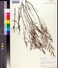 Lechea sessiliflora herbarium specimen from Edward Ball Wakulla Springs State Park, Wakulla County in 1983 by Robert K Godfrey.