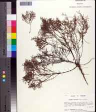 Lechea torreyi herbarium specimen from Jonathan Dickinson State Park, Martin County in 1997 by Prof. Loran C Anderson.