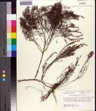 Lechea torreyi herbarium specimen from Savannahs State Reserve, St. Lucie County in 1989 by Ann F Johnson.