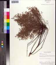 Lechea torreyi herbarium specimen from Crowley Museum and Nature Center, Sarasota County in 1997 by B. Holst.