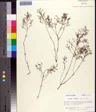 Lechea torreyi herbarium specimen from Eastpoint, Franklin County in 1987 by Prof. Loran C Anderson.