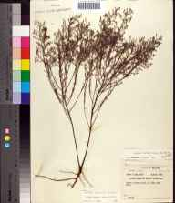 Lechea torreyi herbarium specimen from Lake Dorr, Lake County in 1958 by Robert Kral.