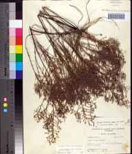 Lechea torreyi herbarium specimen from Saint Marks National Wildlife Refuge, Wakulla County in 1957 by Robert K Godfrey.