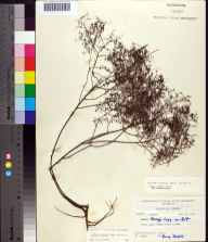 Lechea torreyi herbarium specimen from Marco Island, Collier County in 1964 by Robert K Godfrey.
