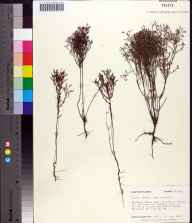 Lechea torreyi herbarium specimen from Coffeen Nature Preserve, Walton County in 1983 by Robert K Godfrey.