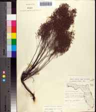 Lechea leggettii herbarium specimen from Crystal River, Citrus County in 1958 by Robert Kral.