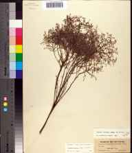 Lechea torreyi herbarium specimen from Braidentown, Florida in 1901 by S M Tracy.