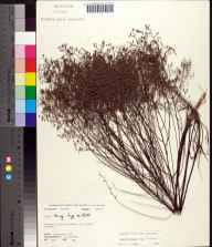 Lechea torreyi herbarium specimen from Perry, Taylor County in 1972 by Robert K Godfrey.