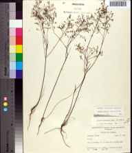 Lechea torreyi herbarium specimen from Cross City in 1960 by Robert K Godfrey.