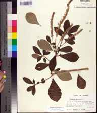 Clethra tomentosa herbarium specimen from Fred Gannon Rocky Bayou State Recreation Area, Okaloosa County in 1994 by Prof. Loran C Anderson.