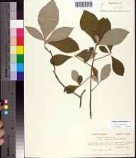 Clethra tomentosa herbarium specimen from Clarksville, Calhoun County in 1981 by Prof. Loran C Anderson.