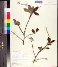 Clethra tomentosa herbarium specimen from Torreya State Park, Liberty County in 1992 by Patricia Elliott.