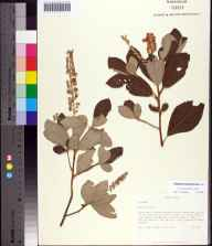 Clethra tomentosa herbarium specimen collected in 1990 by Steve L Orzell.