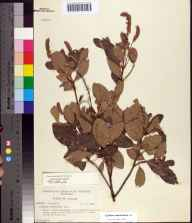 Clethra alnifolia herbarium specimen from Sumatra, Franklin County in 1956 by Paul L Redfearn.