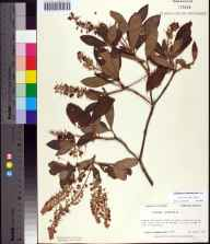 Clethra tomentosa herbarium specimen from Cash Creek, Franklin County in 1987 by Prof. Loran C Anderson.