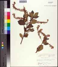 Clethra tomentosa herbarium specimen from Liberty County in 1974 by Prof. Loran C Anderson.