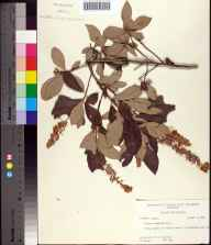 Clethra tomentosa herbarium specimen from Buffalo Lake, Walton County in 1961 by Robert K Godfrey.