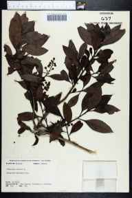 Conocarpus erectus herbarium specimen from Everglades National Park, Monroe County in 1965 by Jean W. Wooten.
