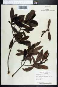 Conocarpus erectus herbarium specimen from Big Pine Key, Monroe County in 1969 by Jane Brockmann.