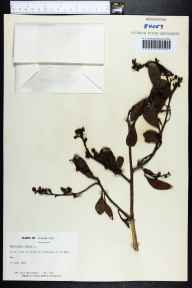 Conocarpus erectus herbarium specimen from No Name Key in 1969 by Jane Brockmann.