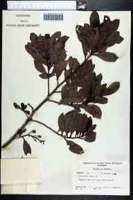 Conocarpus erectus herbarium specimen from Paradise Key in 1962 by F C Craighead.