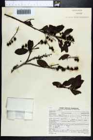 Conocarpus erectus herbarium specimen from Matheson Hammock County Park, Miami-Dade County in 1950 by Elbert L. Little.
