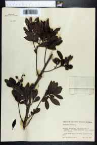 Conocarpus erectus herbarium specimen from Key Vacas in 1950 by Eula Whitehouse.