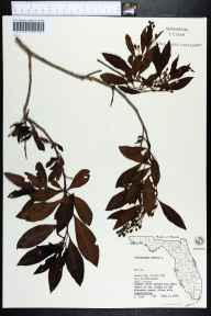 Conocarpus erectus herbarium specimen from Mound Key, Lee County in 1974 by S. Todd.