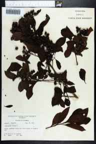 Conocarpus erectus herbarium specimen from Longboat Key, Sarasota County in 1971 by Robert K Godfrey.