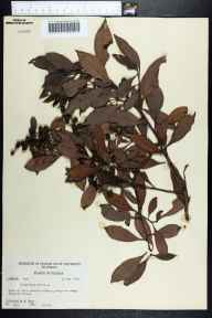 Conocarpus erectus herbarium specimen from Bokeelia Island, Lee County in 1956 by Robert Kral.