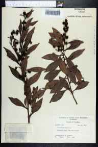 Conocarpus erectus herbarium specimen from Big Pine Island, Lee County in 1959 by Robert K Godfrey.