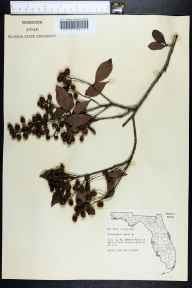 Conocarpus erectus herbarium specimen from Ft. Myers Beach, Lee County in 1958 by Robert Kral.