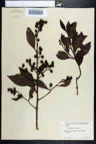 Conocarpus erectus herbarium specimen from Gulfport, Pinellas County in 1951 by Robert F Thorne.