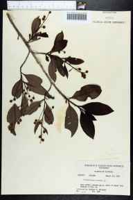 Conocarpus erectus herbarium specimen from Royal Palm Hammock, Collier County in 1960 by Richard S Mitchell.