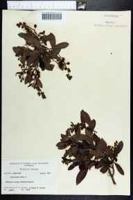 Conocarpus erectus herbarium specimen from Bradenton Beach, Manatee County in 1961 by Robert K Godfrey.
