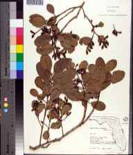 Laguncularia racemosa herbarium specimen from Mound Key, Lee County in 1974 by S. Todd.